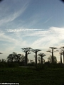 Baobabs (Morondava) [baobabs0098]
