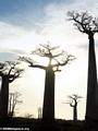 Baobabs (Morondava) [baobabs0100]