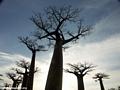 Baobabs (Morondava) [baobabs0102]
