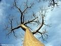 Baobabs (Morondava) [baobabs0103]