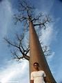 Baobabs (Morondava) [baobabs0117]