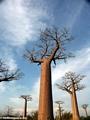 Baobabs (Morondava) [baobabs0120]