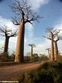 Baobabs (Morondava) [baobabs0122]