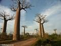 Baobabs (Morondava) [baobabs0123]