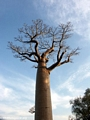 Baobabs (Morondava) [baobabs0124]
