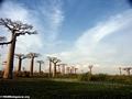 Baobabs (Morondava) [baobabs0128]