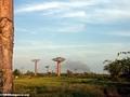 Baobabs (Morondava) [baobabs0132]