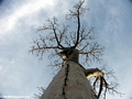 Baobabs (Morondava) [baobabs0134]