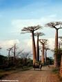 Baobabs (Morondava) [baobabs0140]