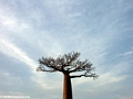 Baobabs (Morondava) [baobabs0141]