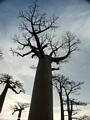 Baobabs (Morondava) [baobabs0144]