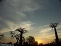 Baobabs (Morondava) [baobabs0145]