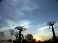 Baobabs (Morondava) [baobabs0145a]