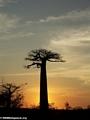 Baobabs (Morondava) [baobabs0146]