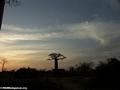 Baobabs (Morondava) [baobabs0148]