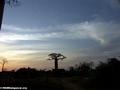 Baobabs (Morondava) [baobabs0148a]