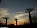Baobabs (Morondava) [baobabs0149]