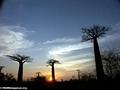 Baobabs (Morondava) [baobabs0149a]