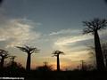 Baobabs (Morondava) [baobabs0152a]