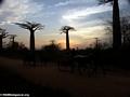Baobabs with zebu cart (Morondava) [baobabs0153a]
