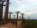 Baobabs (Morondava) [baobabs0156]