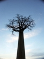 Baobabs at sunset (Morondava) [baobabs0160]