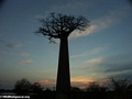Baobabs at sunset (Morondava) [baobabs0161]