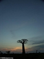 Baobabs at sunset (Morondava) [baobabs0163]