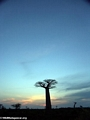 Baobabs at sunset (Morondava) [baobabs0163a]