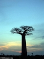 Baobabs at sunset (Morondava) [baobabs0164a]