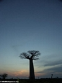 Baobabs at sunset (Morondava) [baobabs0166]