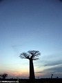 Baobabs at sunset (Morondava) [baobabs0166a]