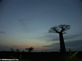 Baobabs at sunset (Morondava) [baobabs0167]