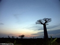 Baobabs at sunset (Morondava) [baobabs0167a]