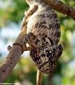 Furcifer oustaleti chameleon (Tsingy de Bemaraha)