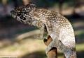 Furcifer oustaleti chameleon at Bekopaka (Tsingy de Bemaraha)