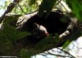 Lepilemur edwardsi sportive lemur (Tsingy de Bemaraha)