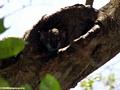 Lepilemur edwardsi weasel lemur (Tsingy de Bemaraha)