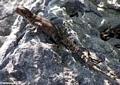 Oplurus cuvieri iguana (Tsingy de Bemaraha)