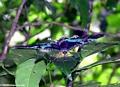 Urania riphaeus moth (now Chrysiridia rhipheus)