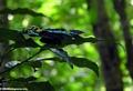 Chrysiridia rhipheus (Tsingy de Bemaraha)