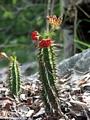 Blooming cactus (Tsingy de Bemaraha)