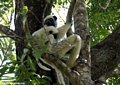 Decken's sifaka with young (Tsingy de Bemaraha)
