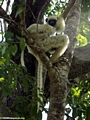 Propithecus verreauxi deckenii with baby (Tsingy de Bemaraha)