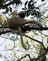 Deckenii sifaka (Propithecus verreauxi deckenii) (Tsingy de Bemaraha)