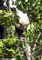 Deckenii sifaka (lemur) (Tsingy de Bemaraha)