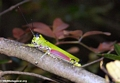 Pink and green grasshopper at the  petite tsingy (Tsingy de Bemaraha)