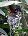Madagascar paradise flycatcher (Tsingy de Bemaraha)