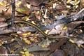 Mimophis mahafaliensis snake (Tsingy de Bemaraha)