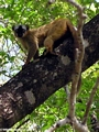 Eulemur fulvus rufus (Tsingy de Bemaraha)
